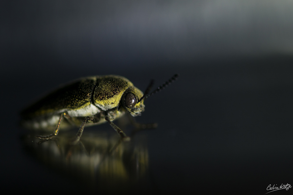 Glittering Jewel Beetle