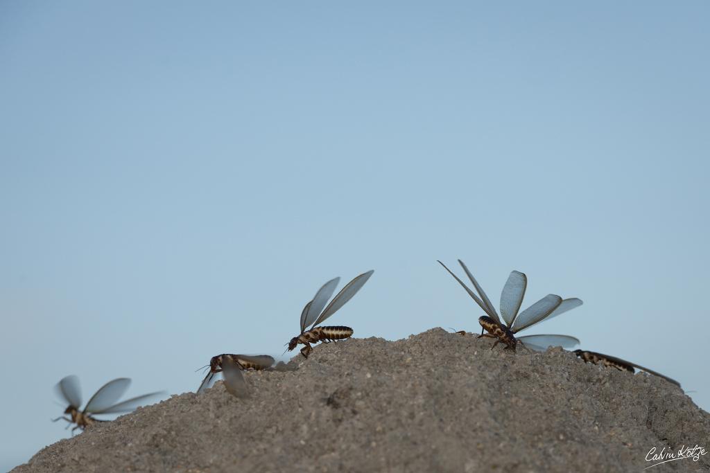"""Flying Ant """"Queen termites"""""""