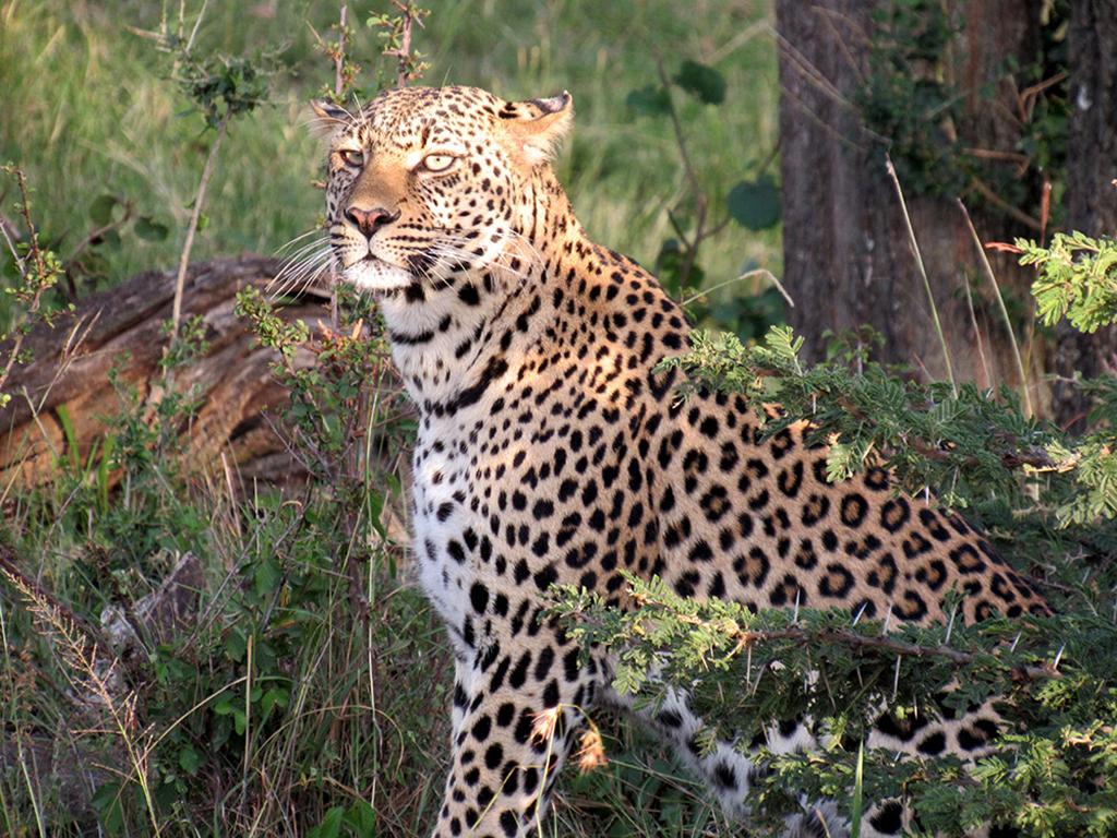 Leopard under a tree