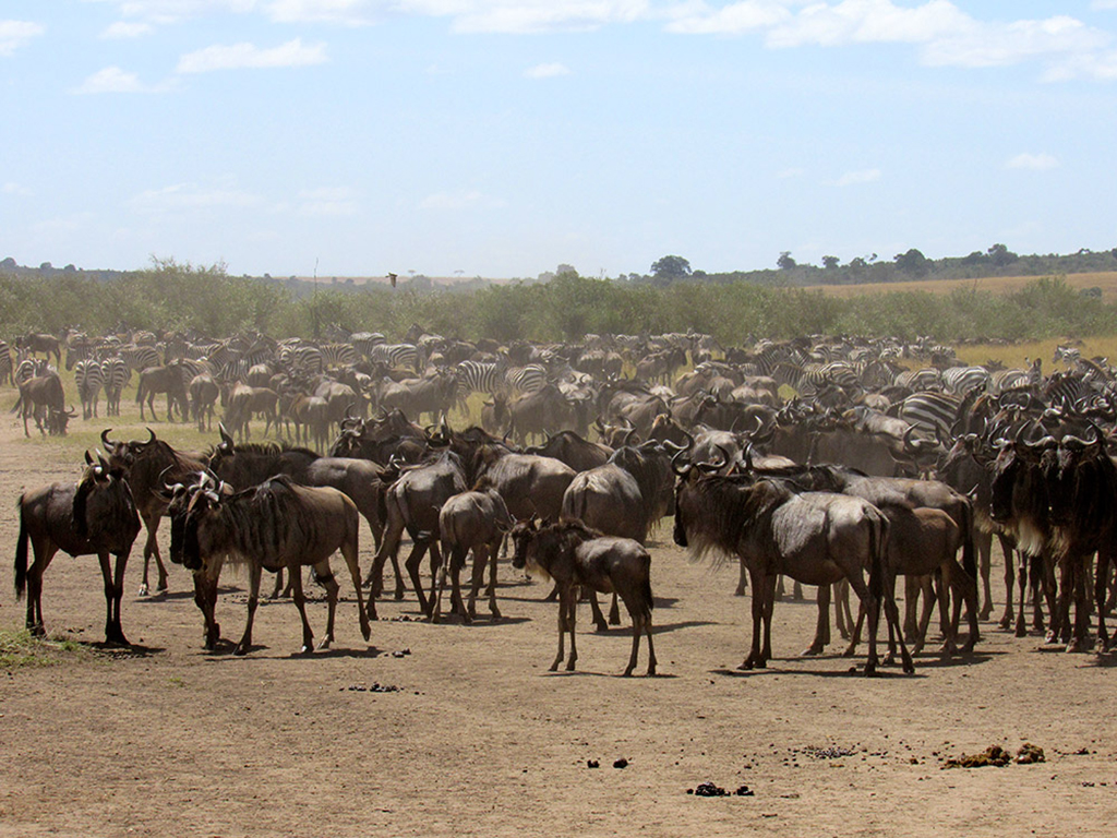 Wildebeest and zebra during the Great Migration