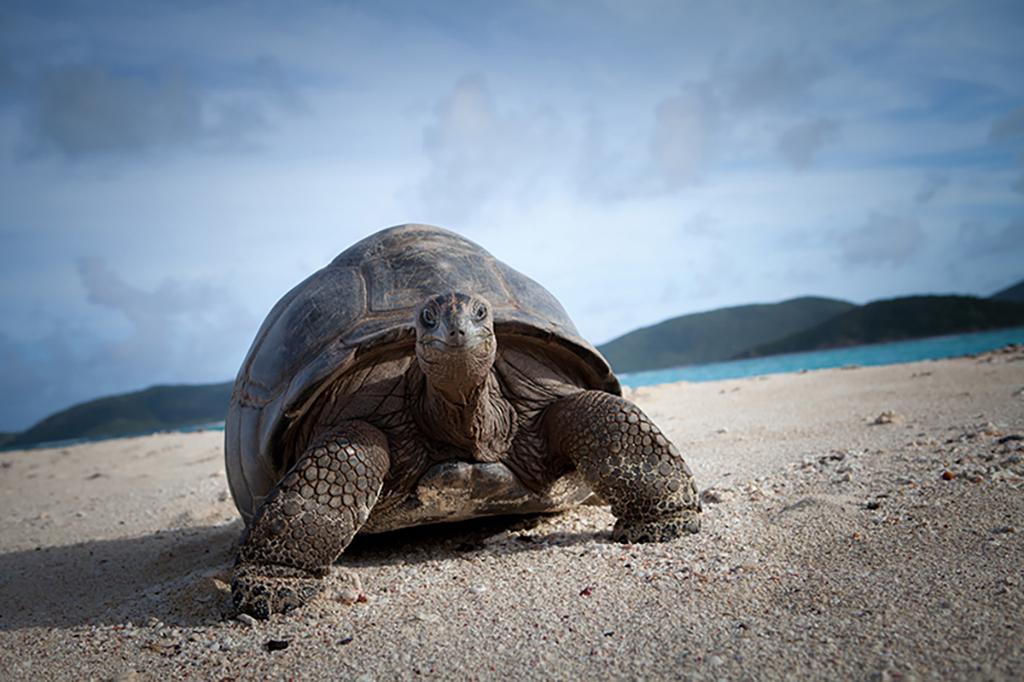 Giant Tortoise on the beach