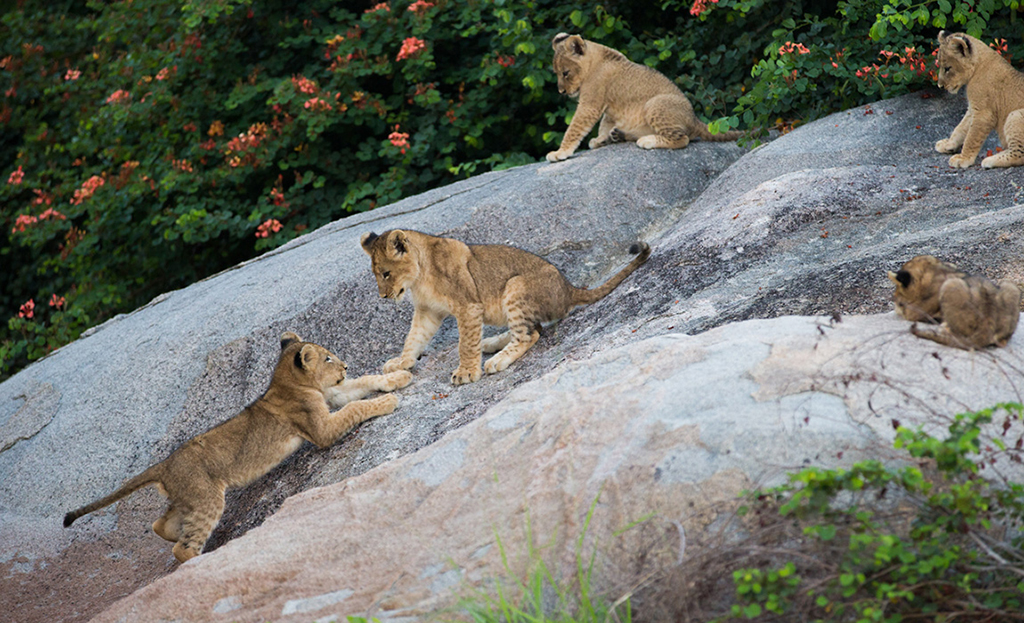 5 lion clubs playing on a rock in the