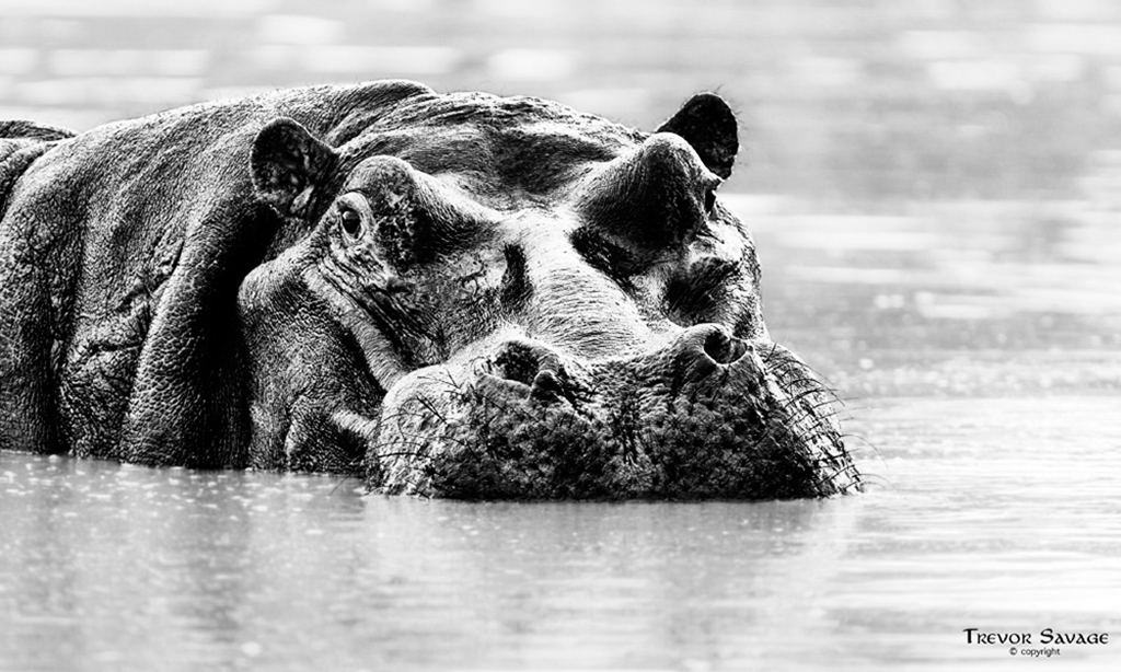 Hippo resting near the surface of the water
