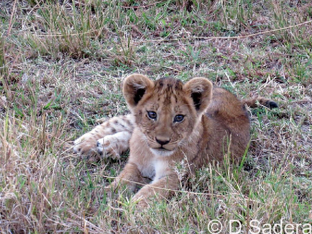 IMG_0137_dickson_new lions cubs 2017 at mahali mzuri