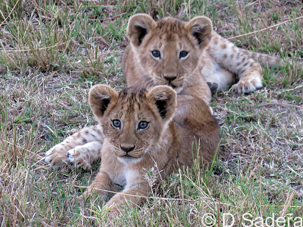 IMG_0140_dickson_two young lion cubs 2017