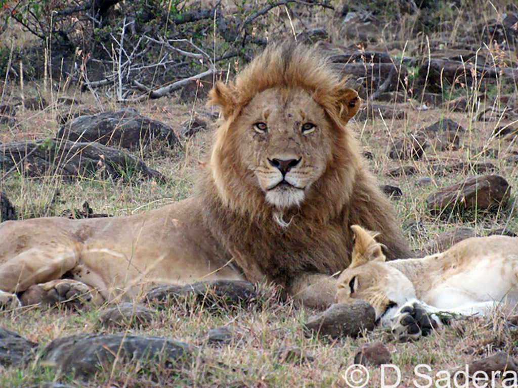 IMG_0048_dickson_male lion mating 2017