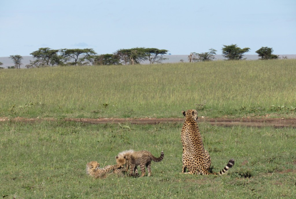 Cheetahs spotted
