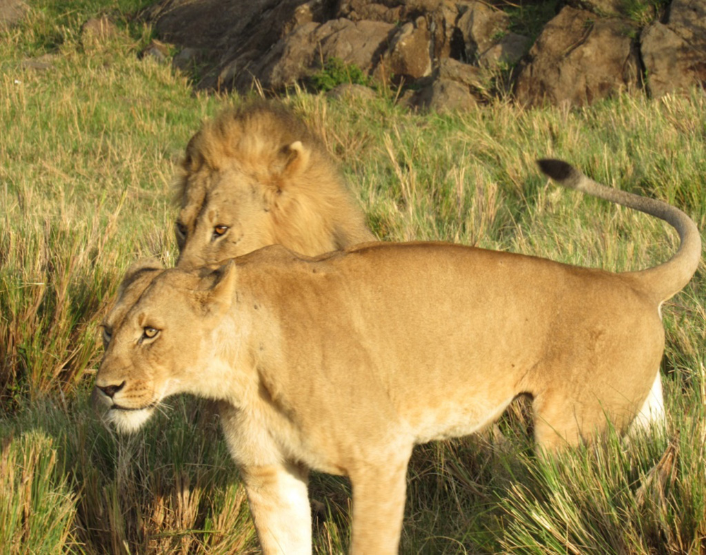 Big cats at Mahali Mzuri