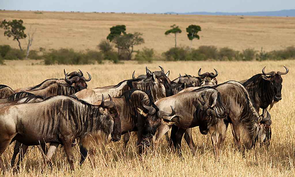 A small group of wildebeest