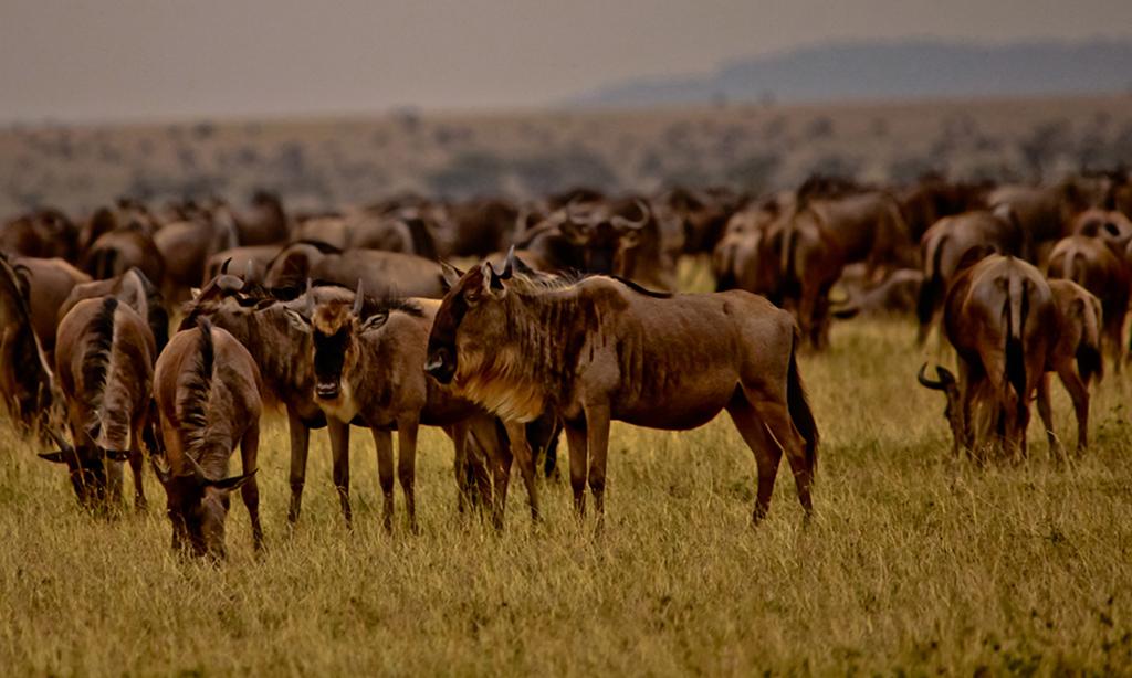 A herd of wildebeest