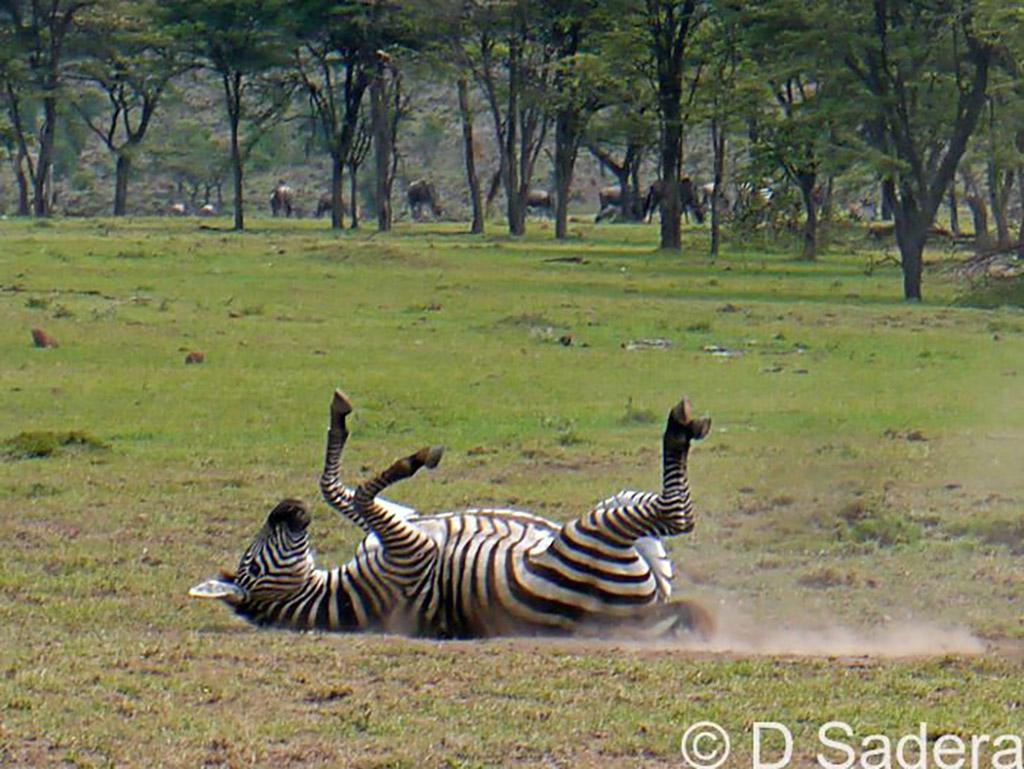 Zebras roll in the dusty ground