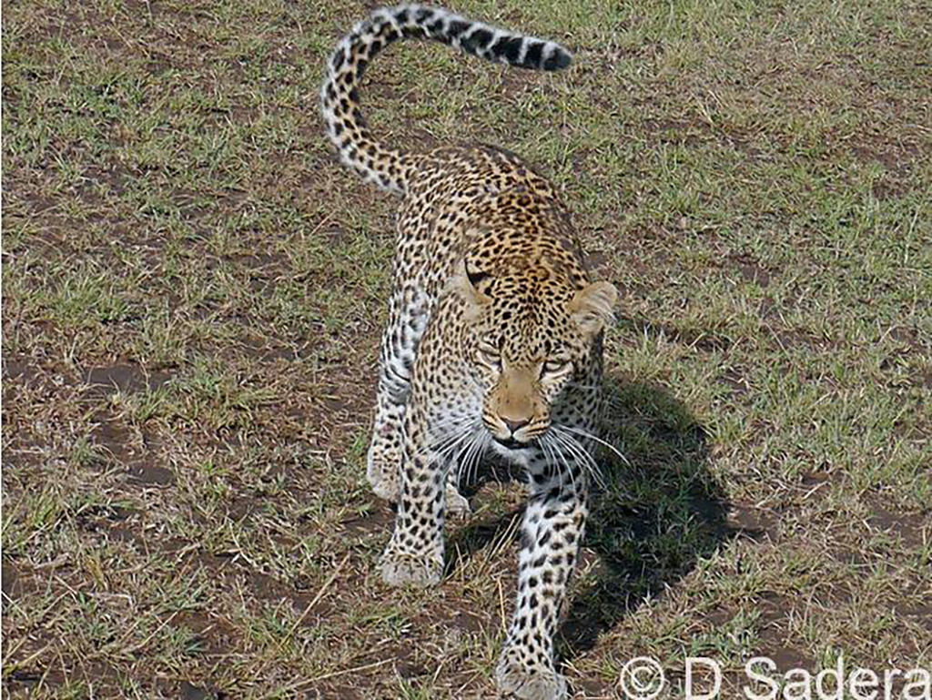 A young female leopard nicknamed 'Fig' was walking towards her kill
