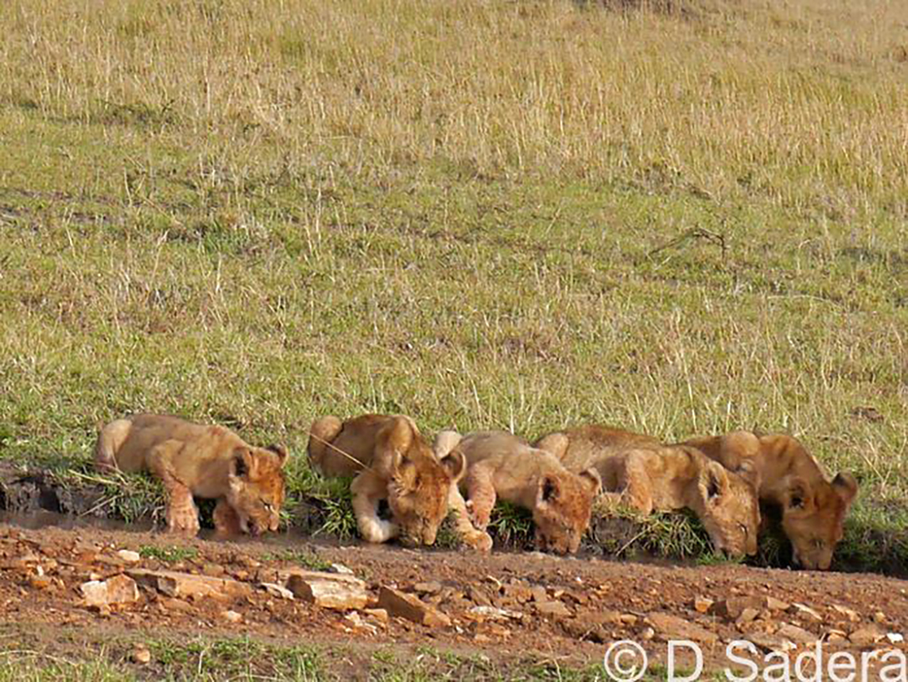 It's great to see a family all together, seven little cubs and their mothers drinking while big boys still guarding and eating the remaining part of their kill, the upcoming members for Moniko pride