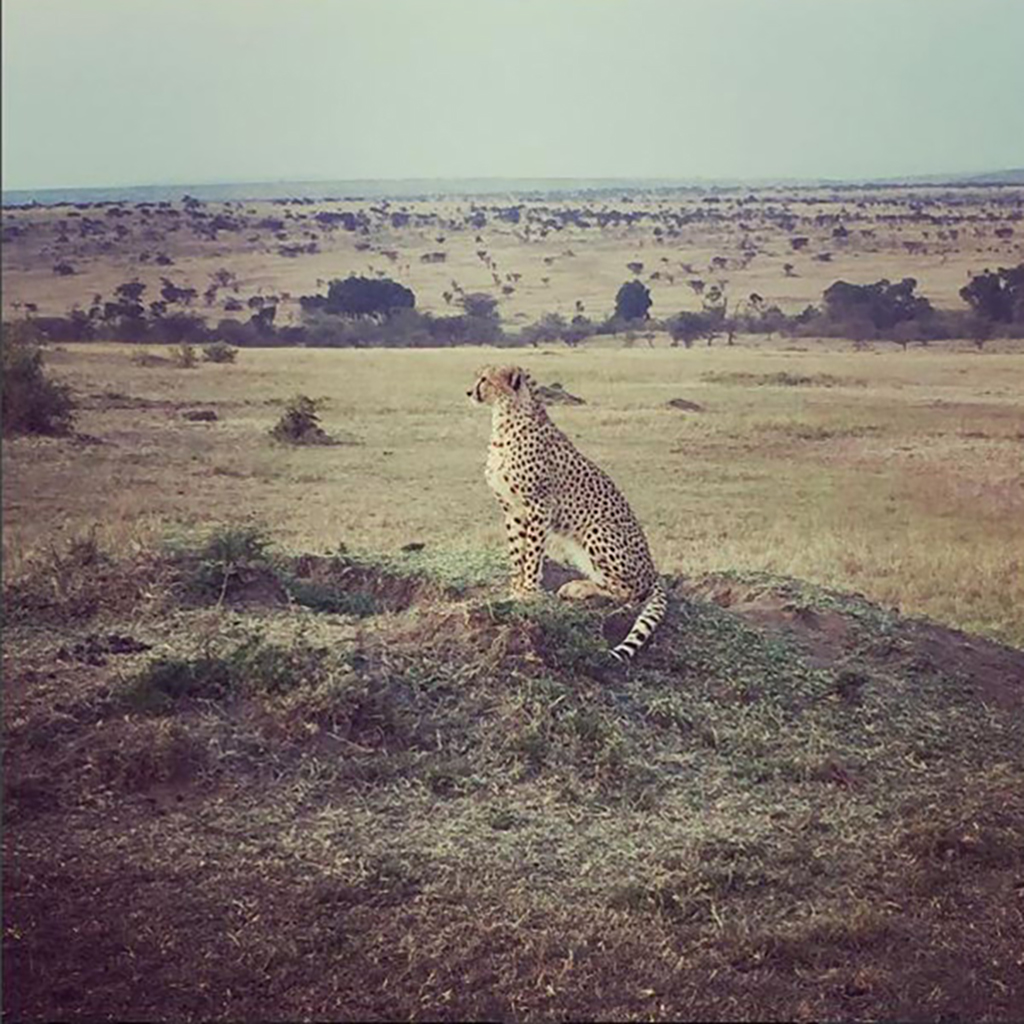 Cheetah looking out over Kenyan plains
