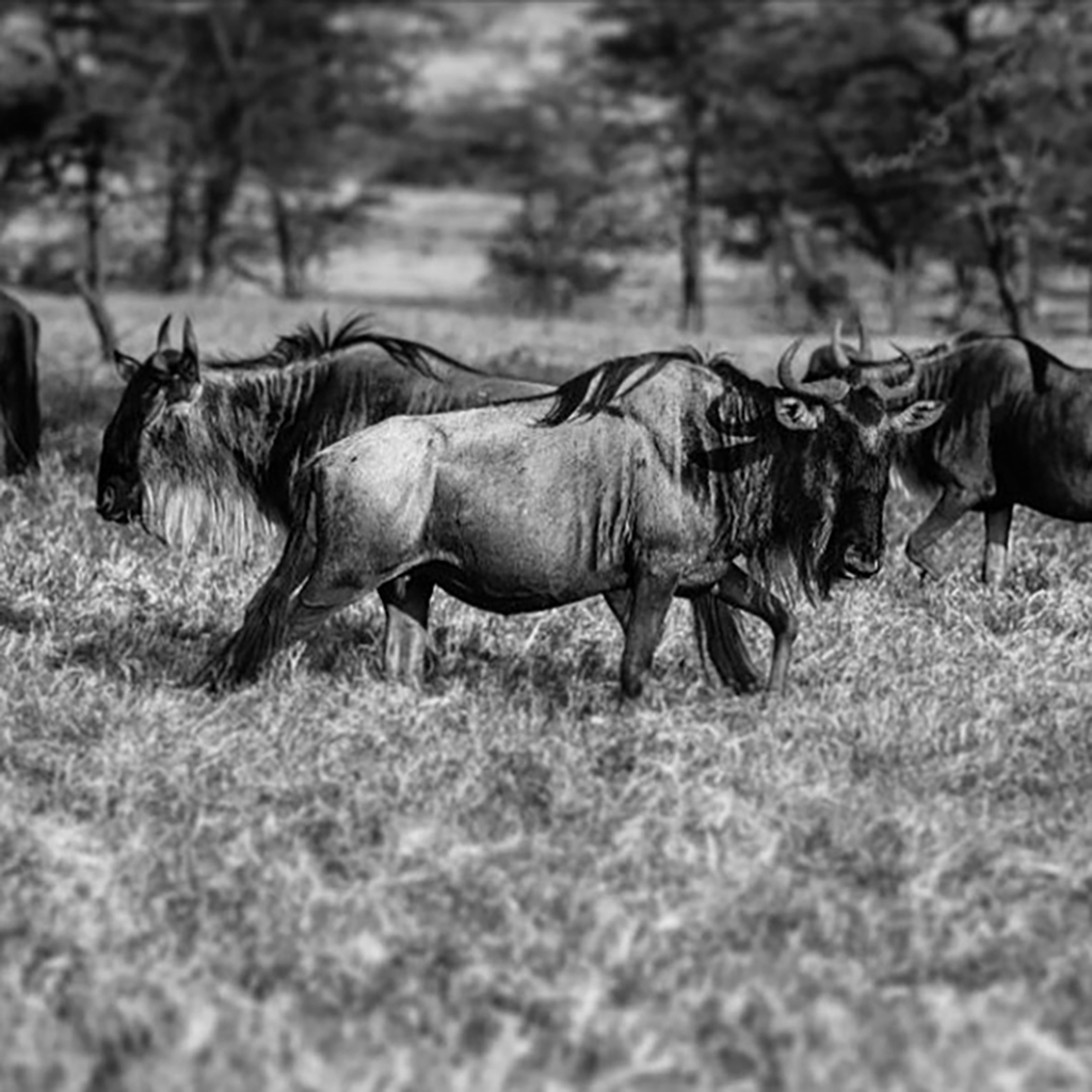 Three wildebeest