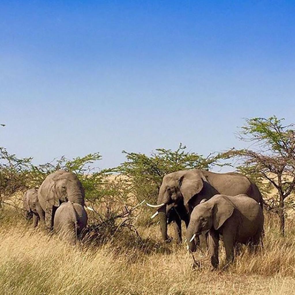 Herd of five elephants