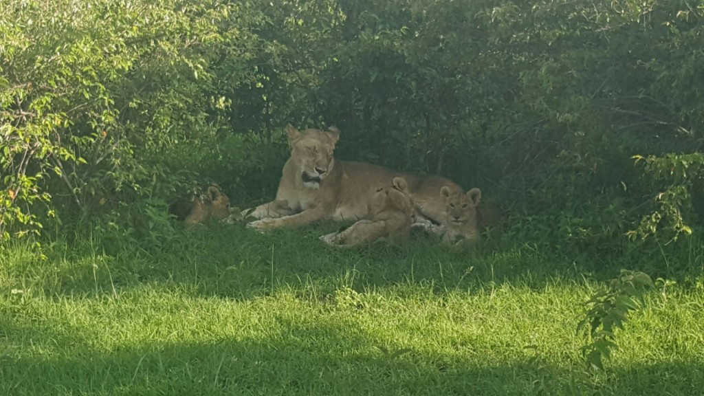 Lioness and her cubs keeping cool