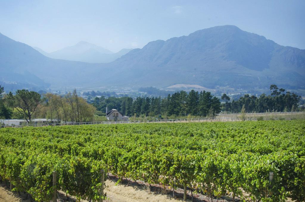 Mont Rochelle's vinyard