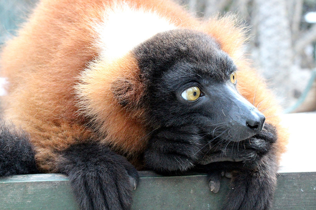 Big Ted the Red Ruffled Lemur