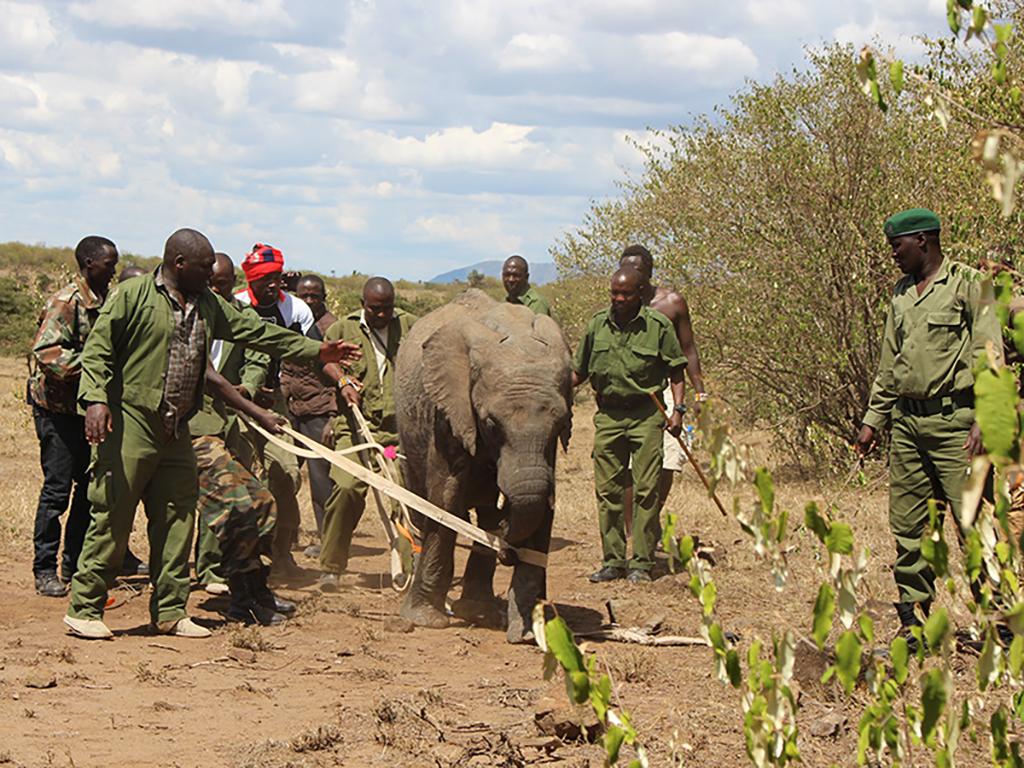 The Sheldrick Wildlife Trust team helping move the elephant calf