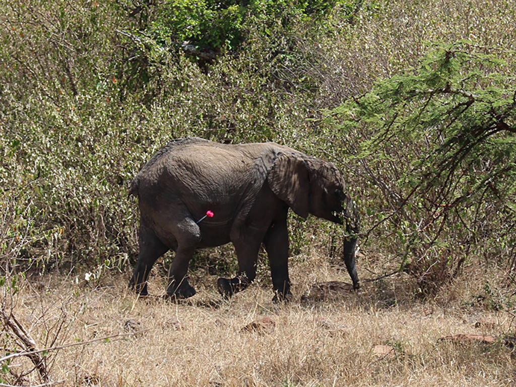 orphan elephant being darted in Olare Motorogi Reserve.
