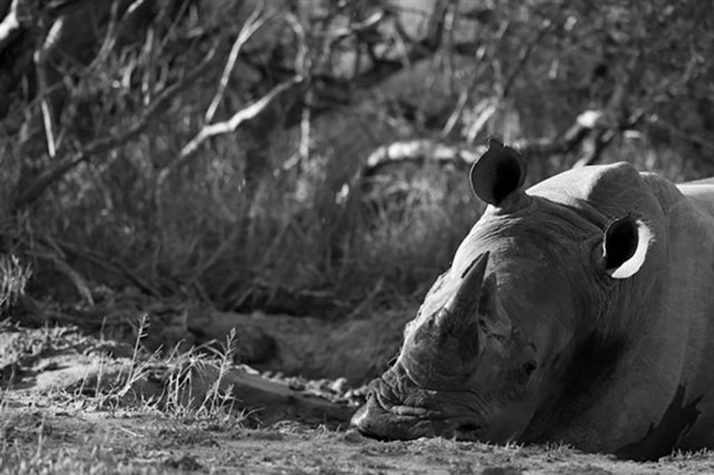 Rhino by Trevor Savage