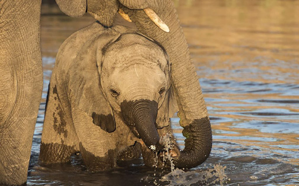An elephant calf standing underneath its mother in a river