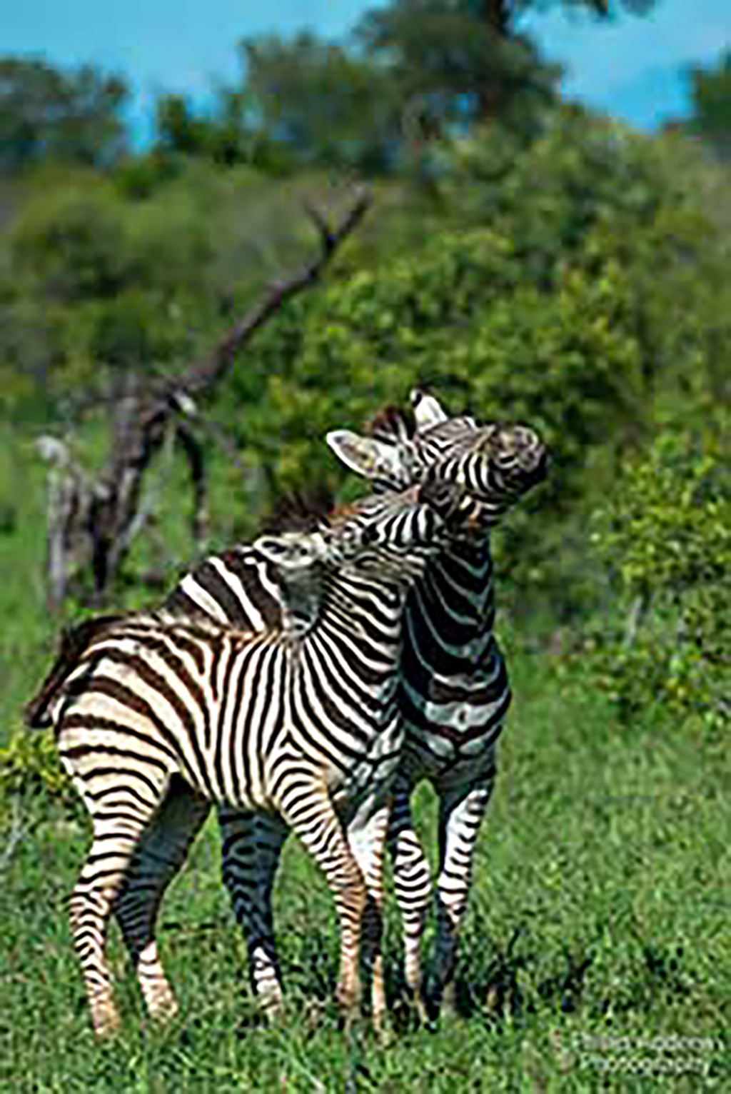 Two zebra foals playing