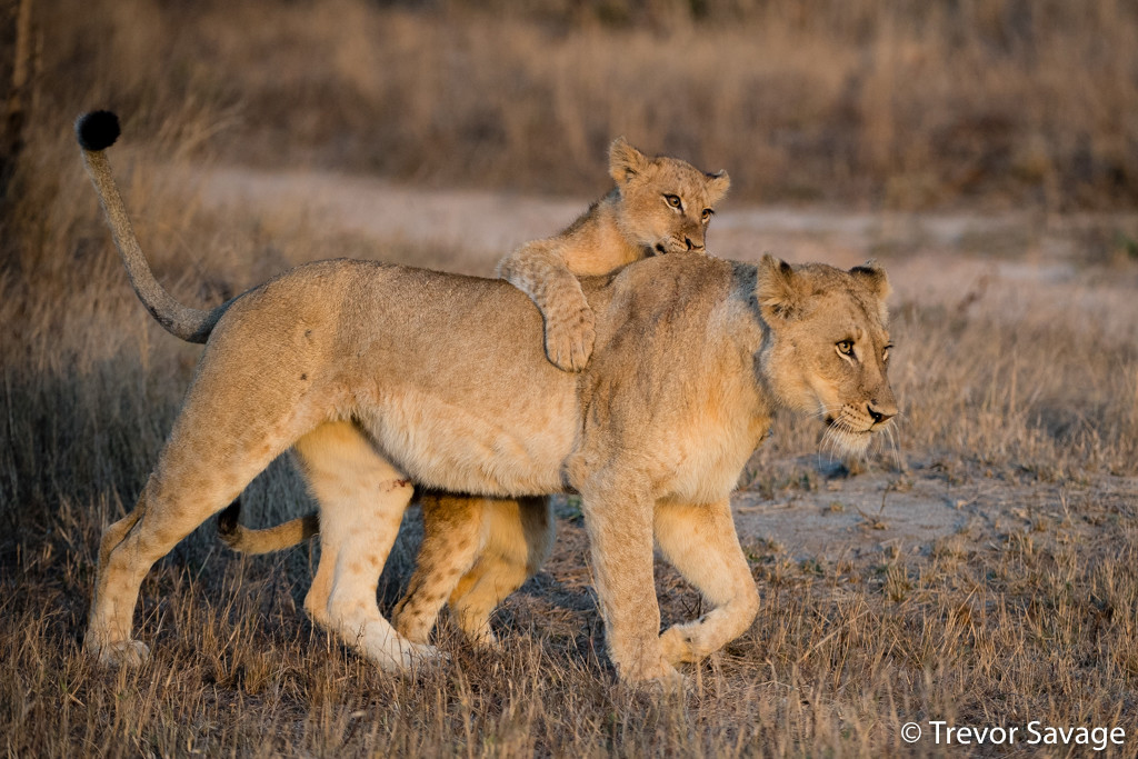 Lioness with cub by Trevor Savage