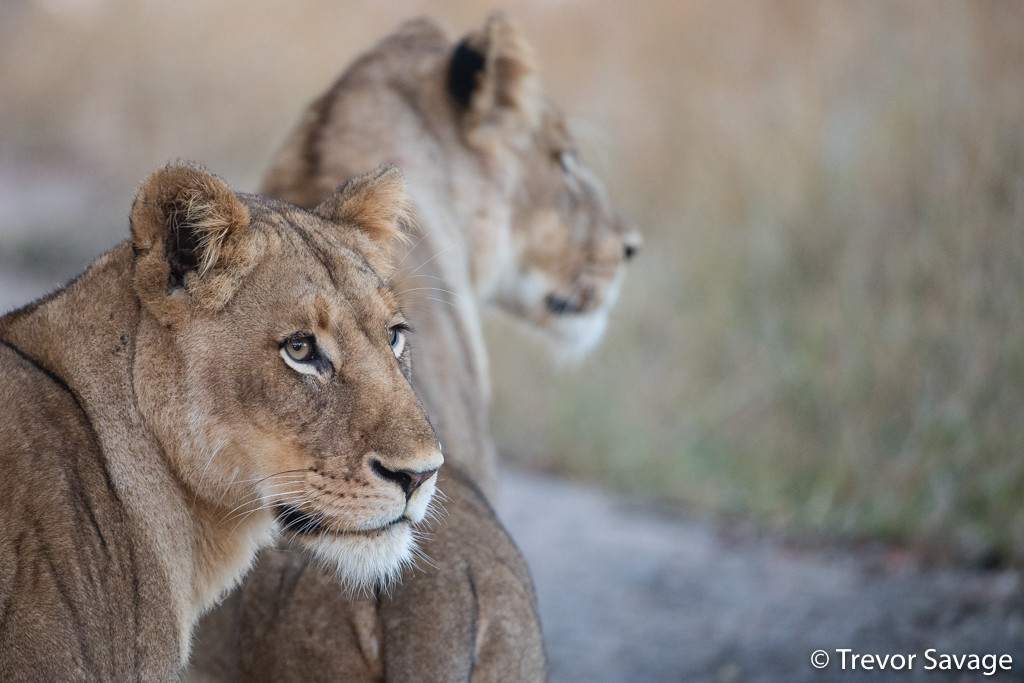 Two lionesses by Trevor Savage