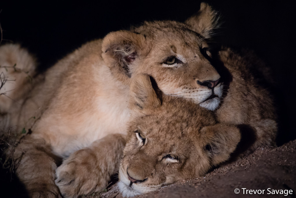 Lion cubs by Trevor Savage