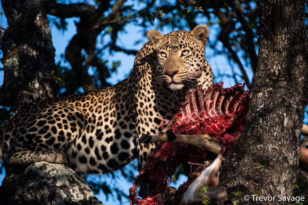 Leopard with a kill by Trevor Savage