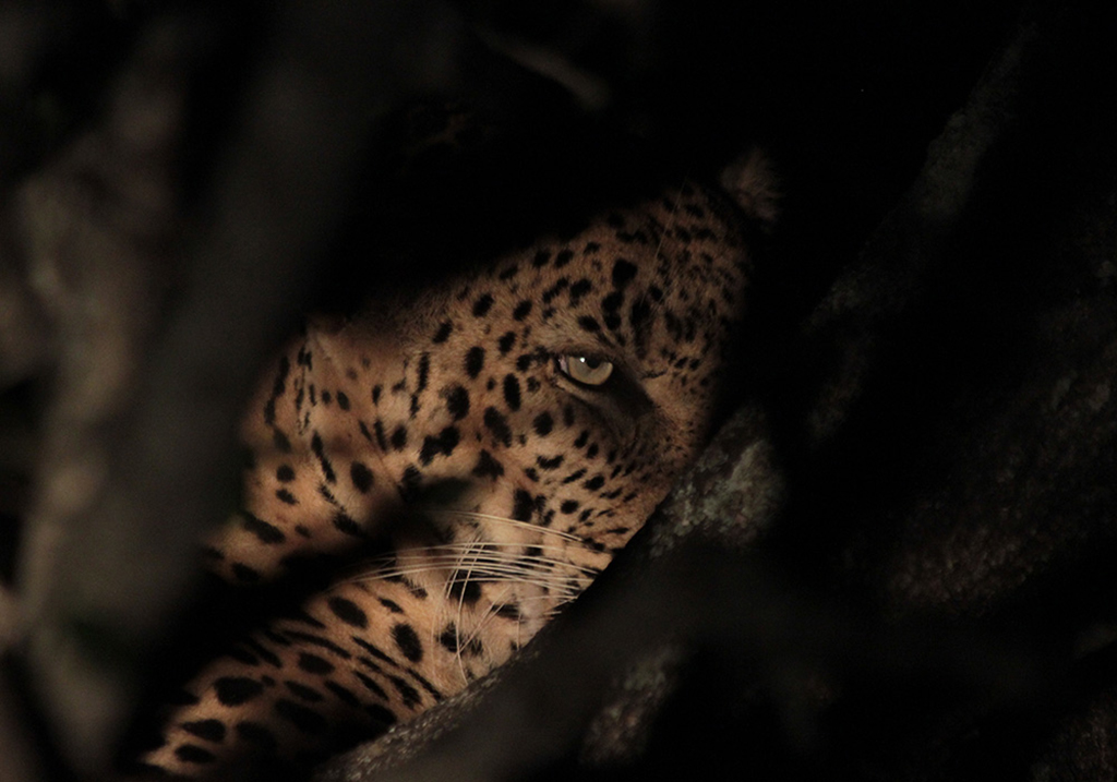 A cheeky leopard hidding in a tree Photograph copyright Jodie Ramackers