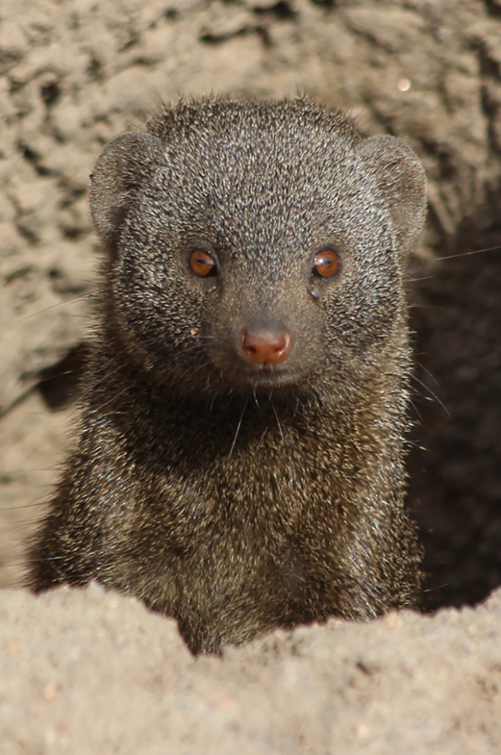A cheeky mongoose peeking up from his burrow Photograph copyright Jodie Ramackers